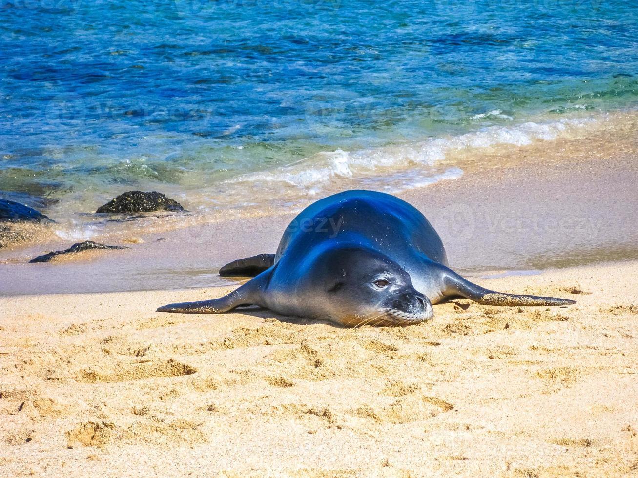 phoque sur la plage photo