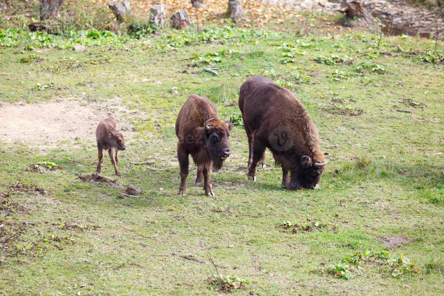 famille aurochs photo