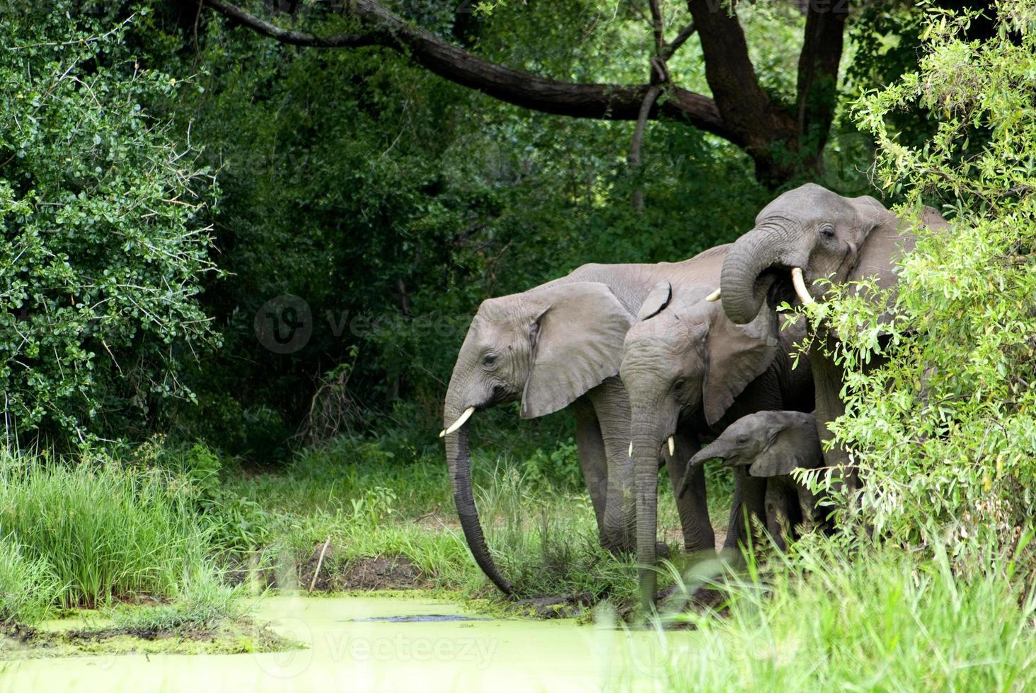 éléphant famille eau potable photo