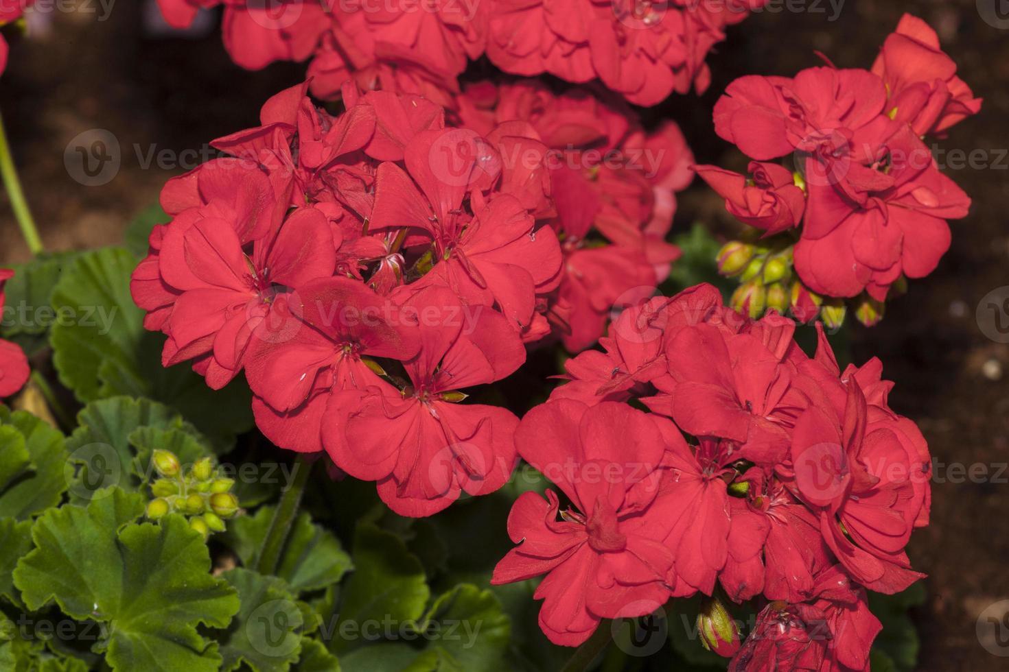 pelargonium zonale (famille: géraniacées) photo