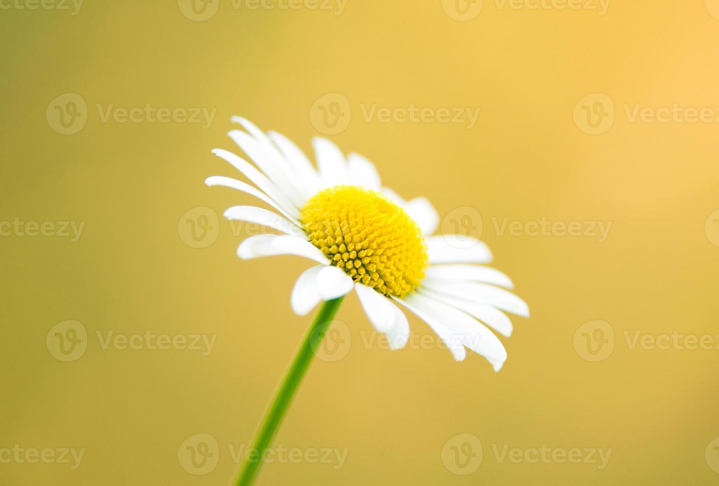 fond nature - marguerite sur fond jaune photo