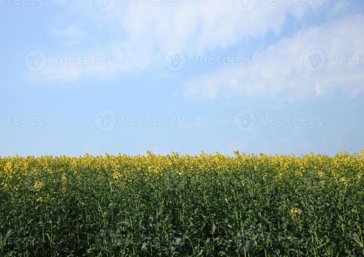 champ de viol au printemps avec un ciel bleu photo