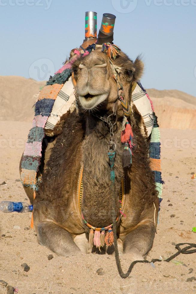 portrait de chameau photo