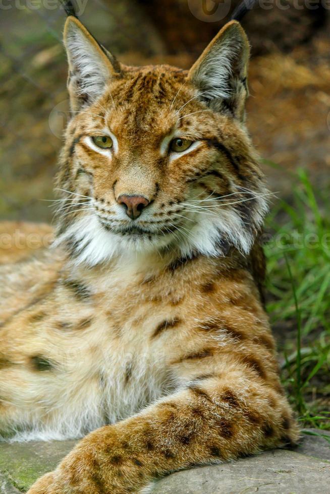portrait de lynx roux photo