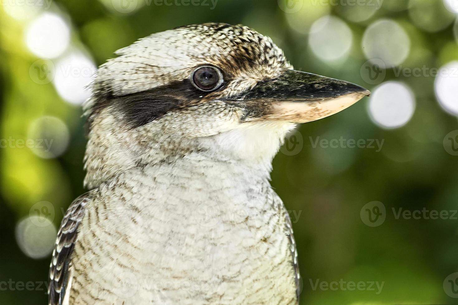 kookaburra bouchent photo