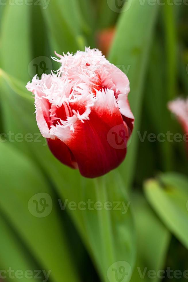 gros plan tulipe photo