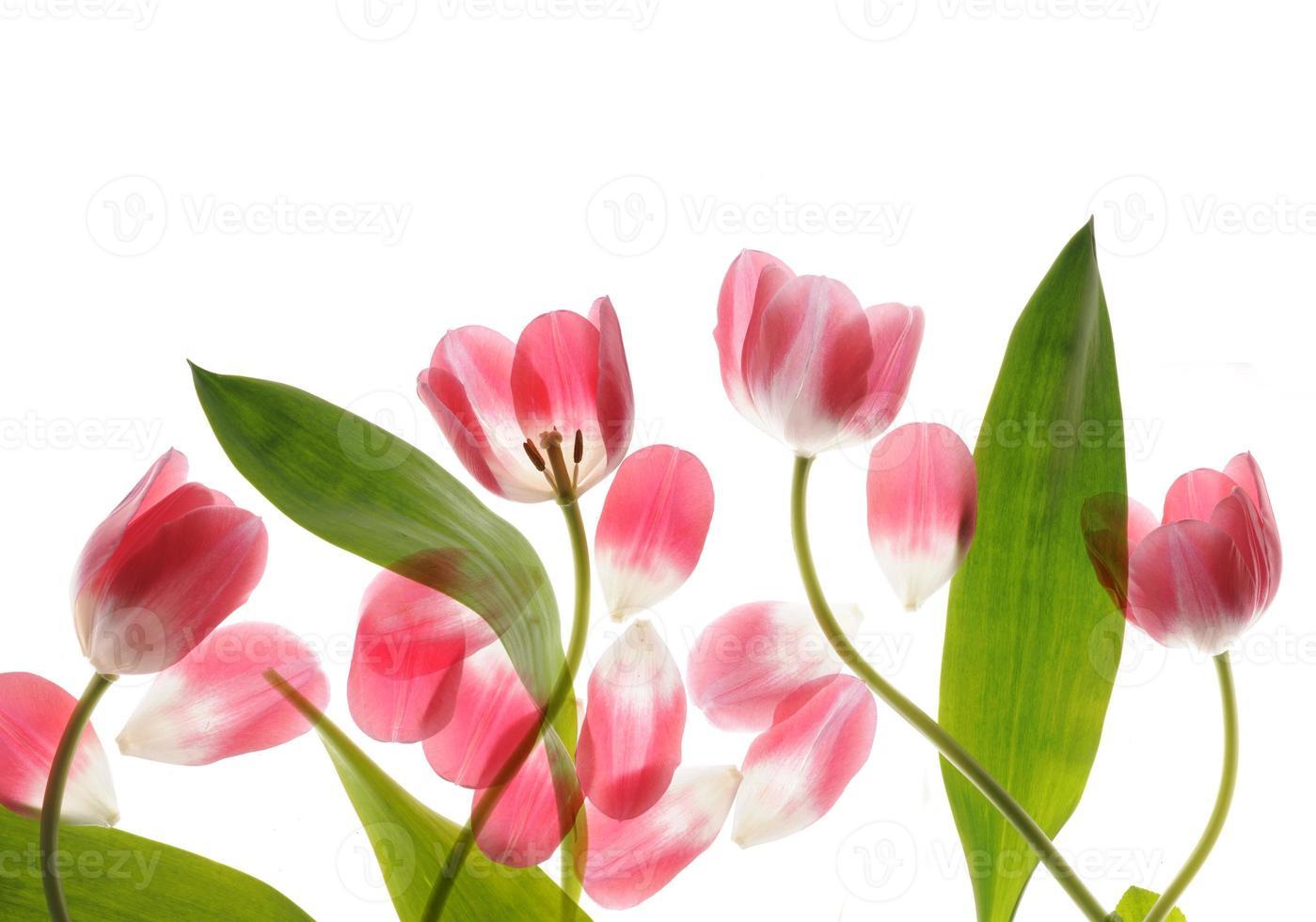 tulipe bouchent photo