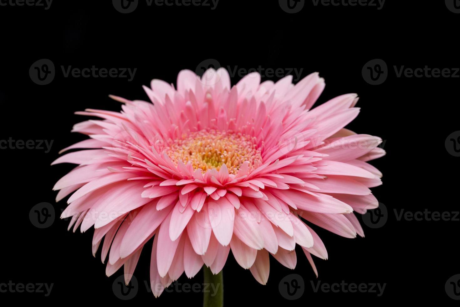 belle fleur de gerbera sur fond noir photo