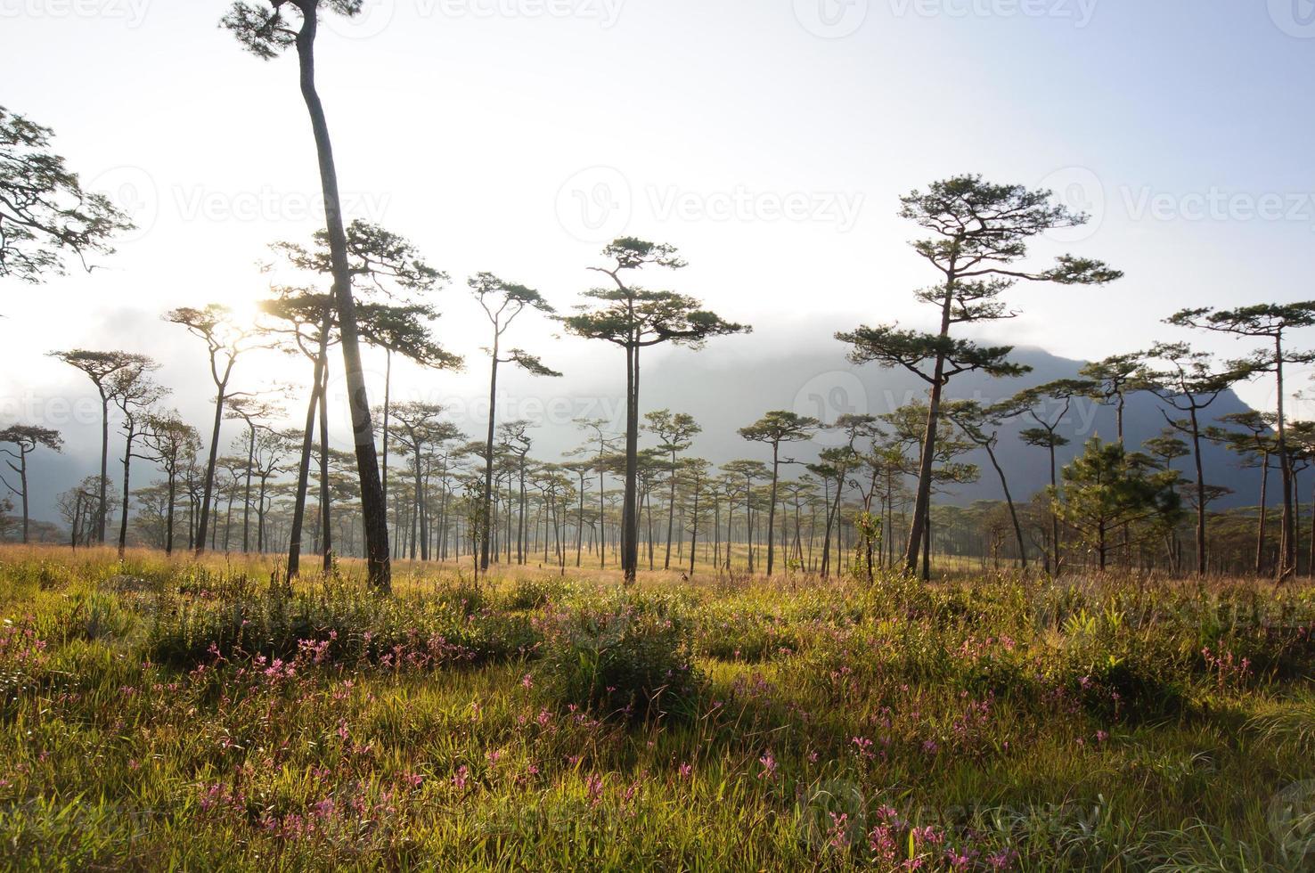 forêt de pins à la montagne phusoidao en thaïlande photo