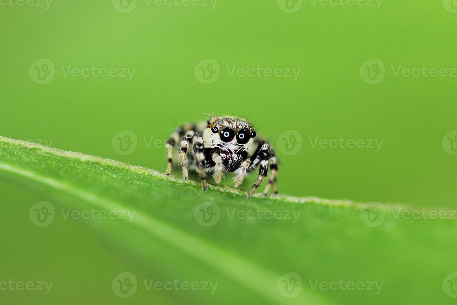 araignée gros oeil photo