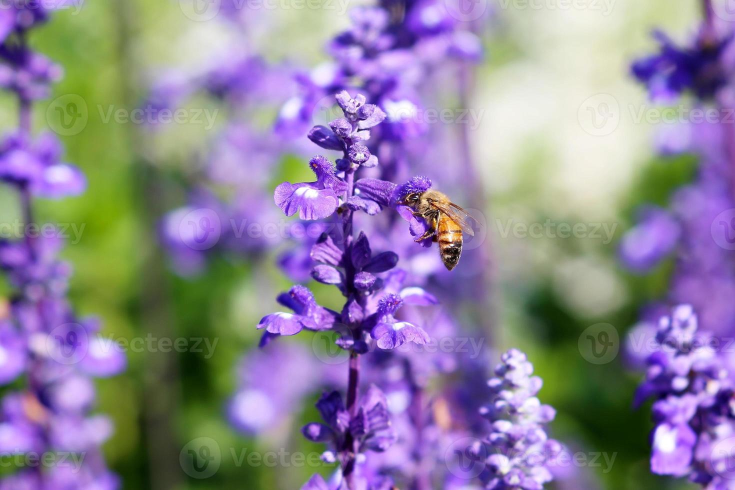 petite abeille profiter de la lavande photo