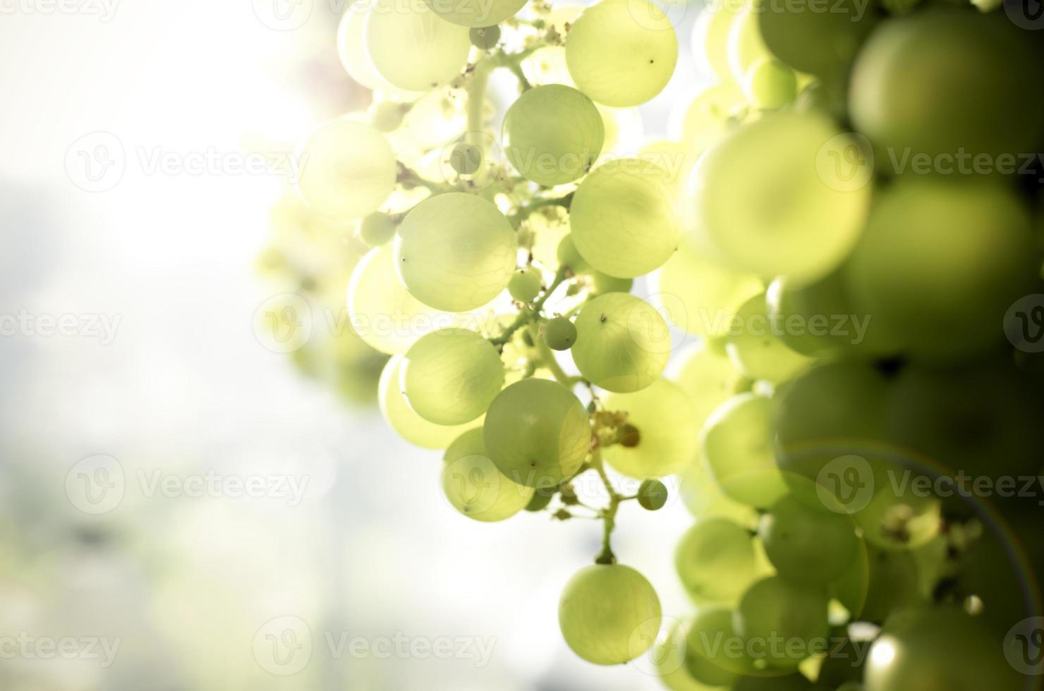 raisins verts sur fond de soleil photo