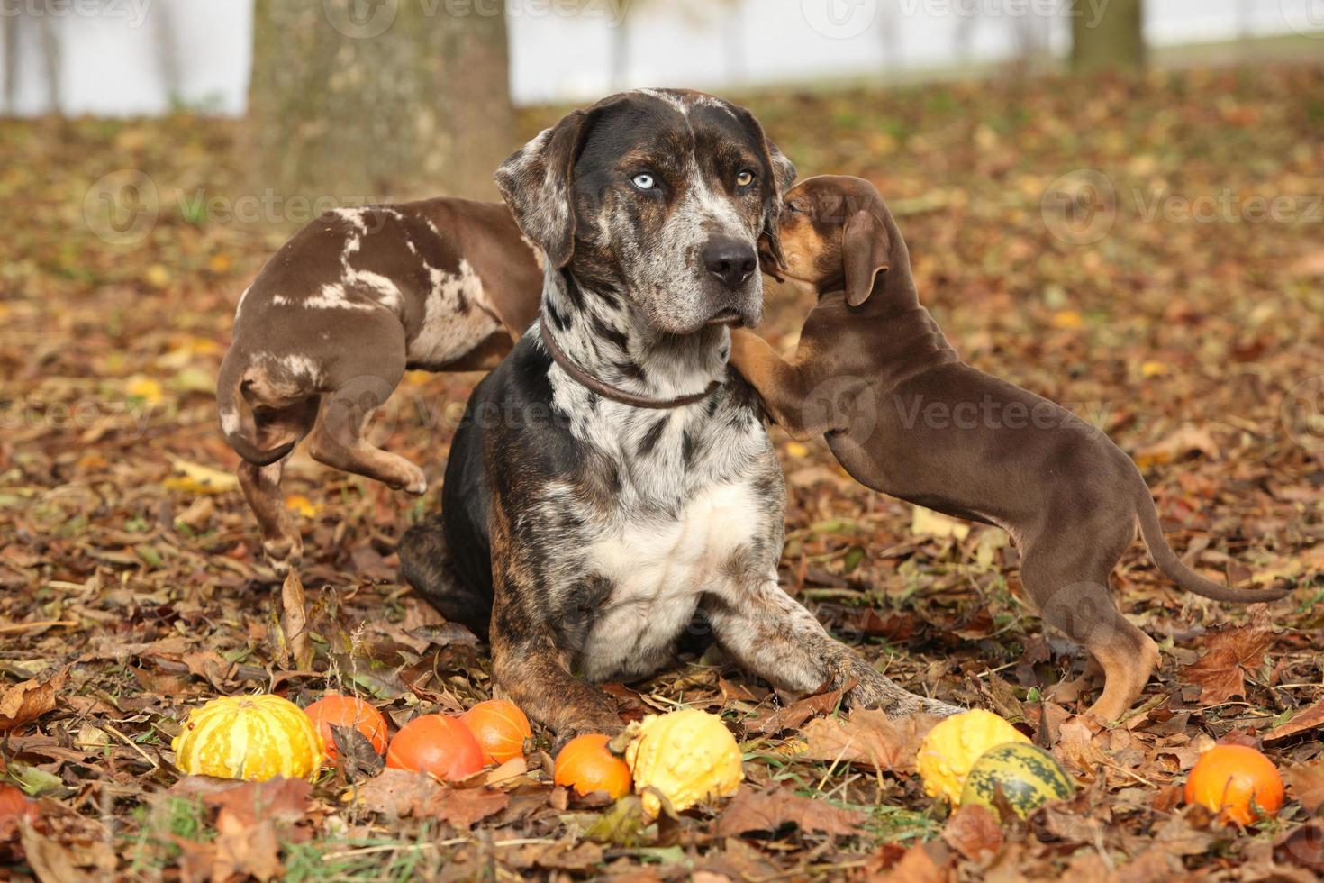 Louisiane catahoula chien avec d'adorables chiots en automne photo