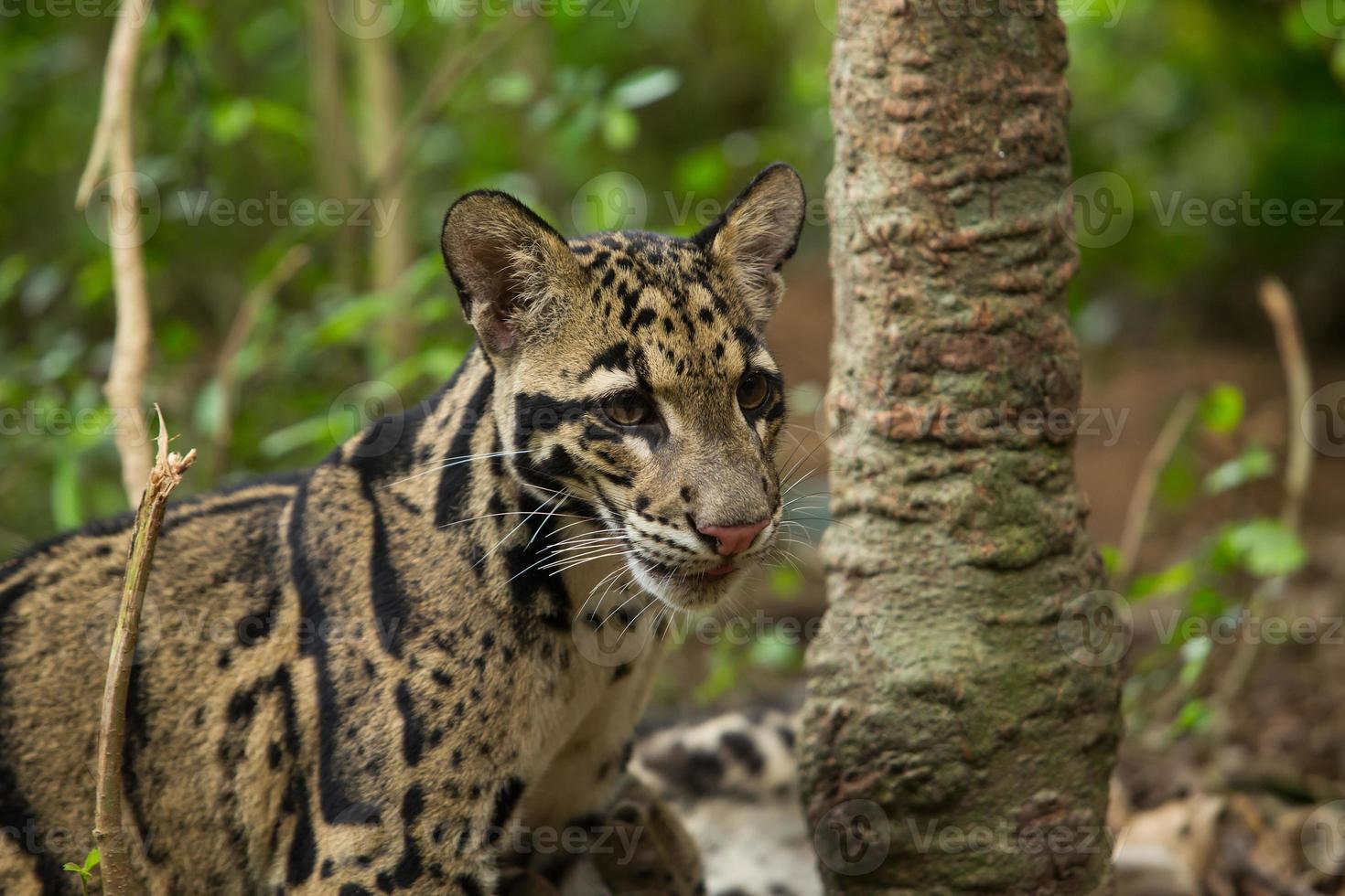 léopard opacifié (neofelis nebulosa) photo