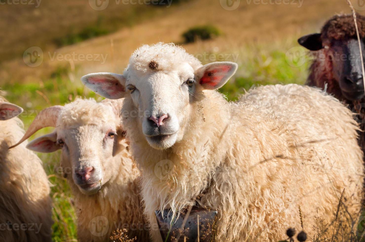 troupeau de moutons paissant sur les collines photo