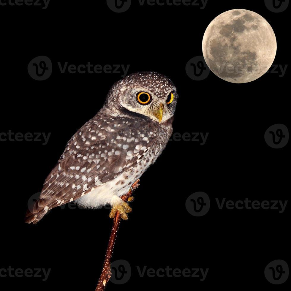 oiseau de nuit hibou photo