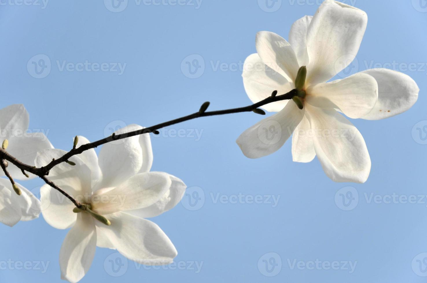 fin, haut, fleur, magnolia photo