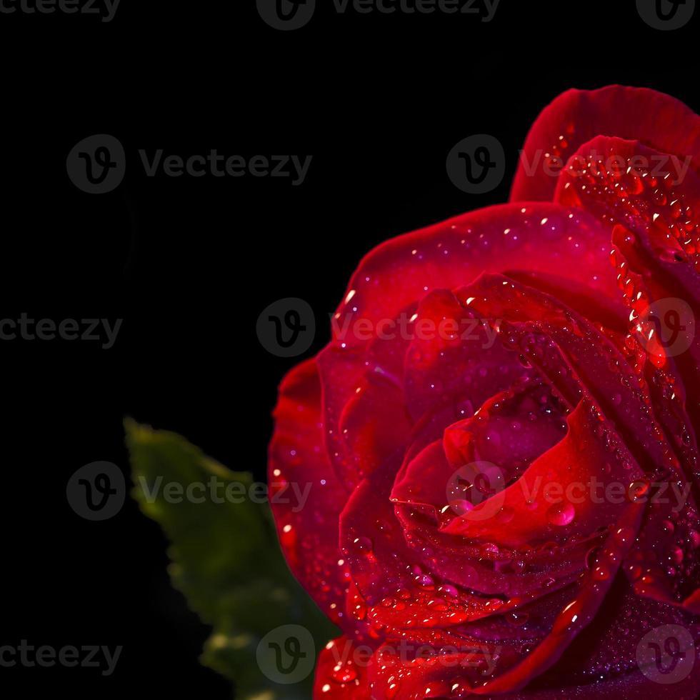 fleur rose rouge avec rosée sur fond noir photo