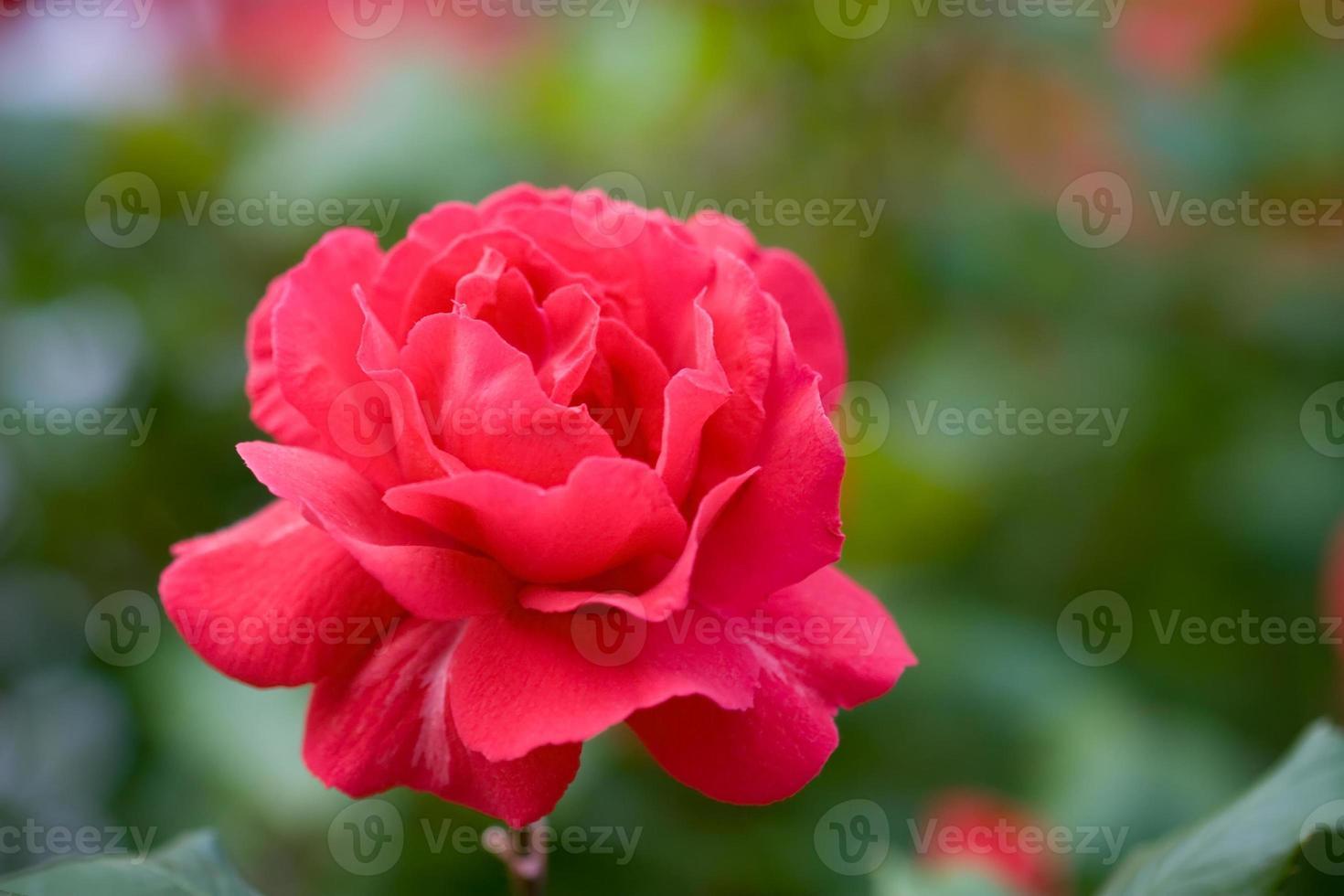 rose rouge dans le parc photo