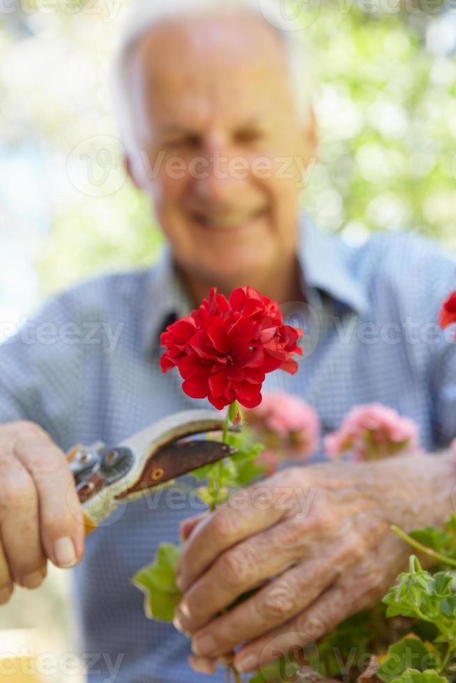 homme âgé, élagage, géraniums photo