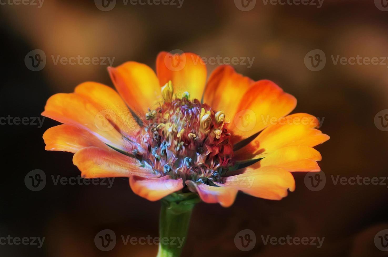 fleur tropicale cosmos orange photo