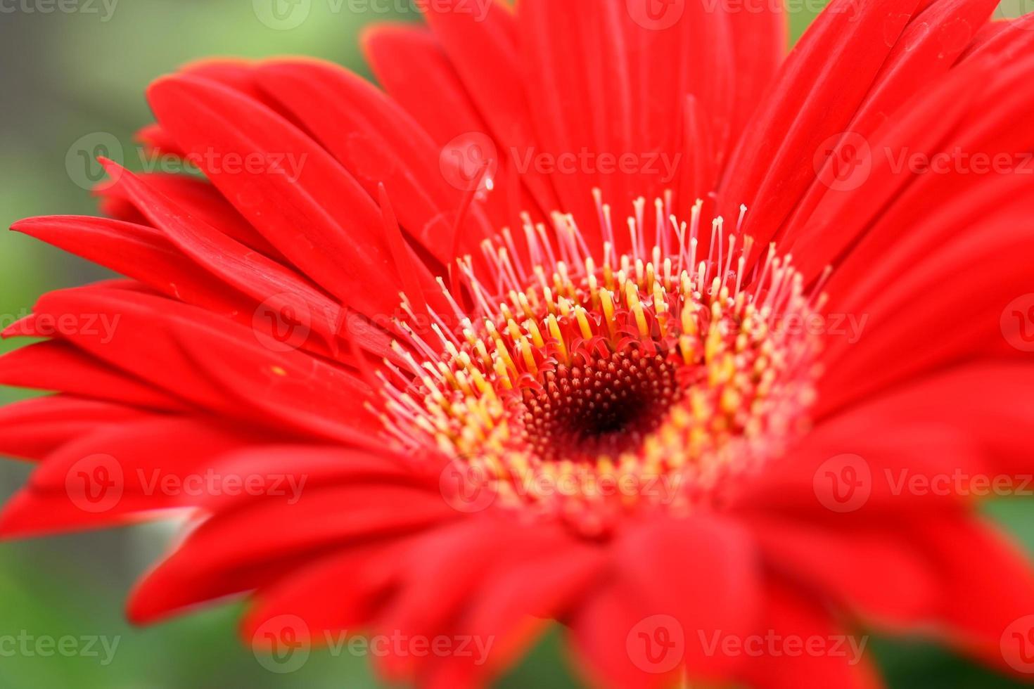 fleur de gerbera photo