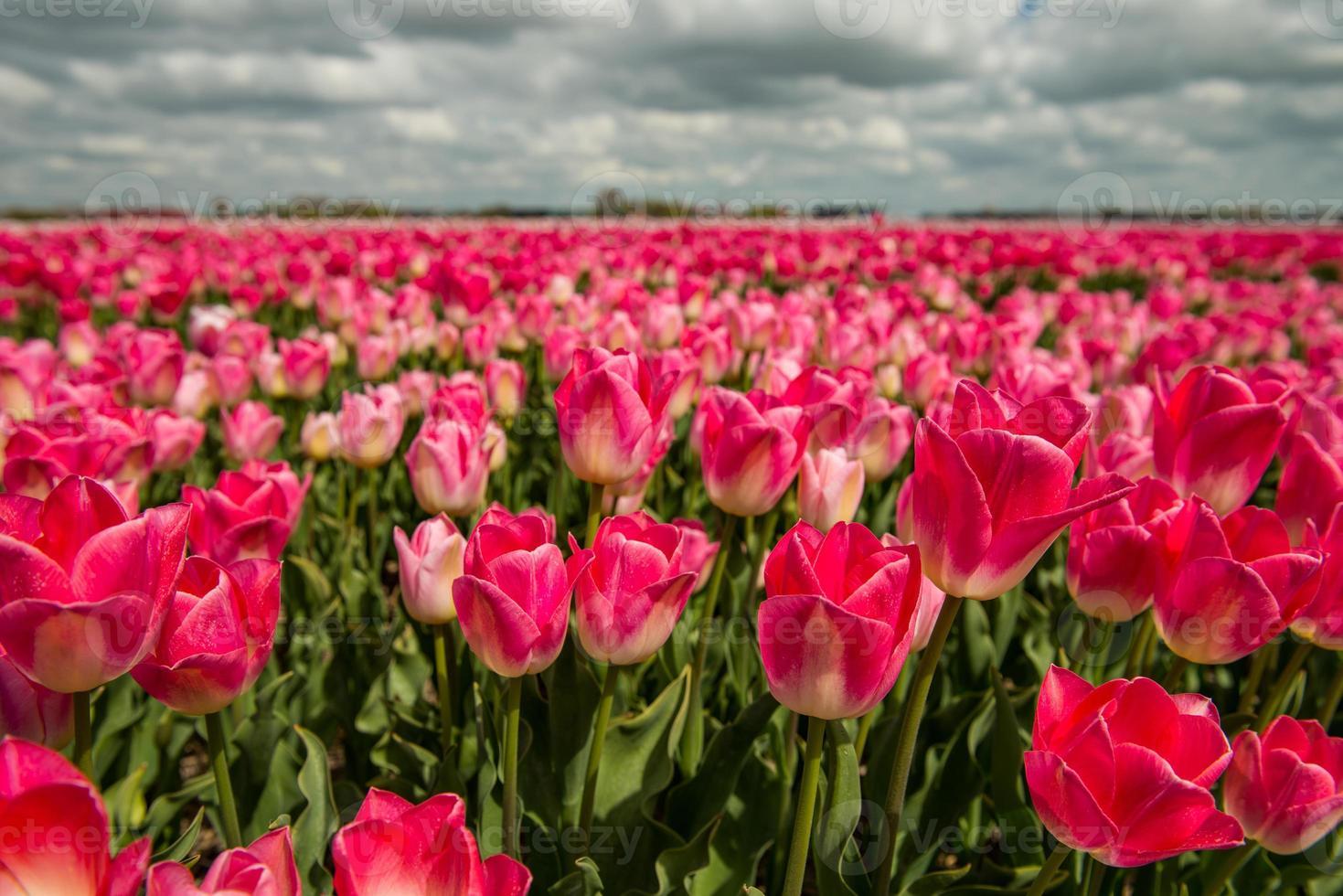 culture de tulipes, pays-bas photo