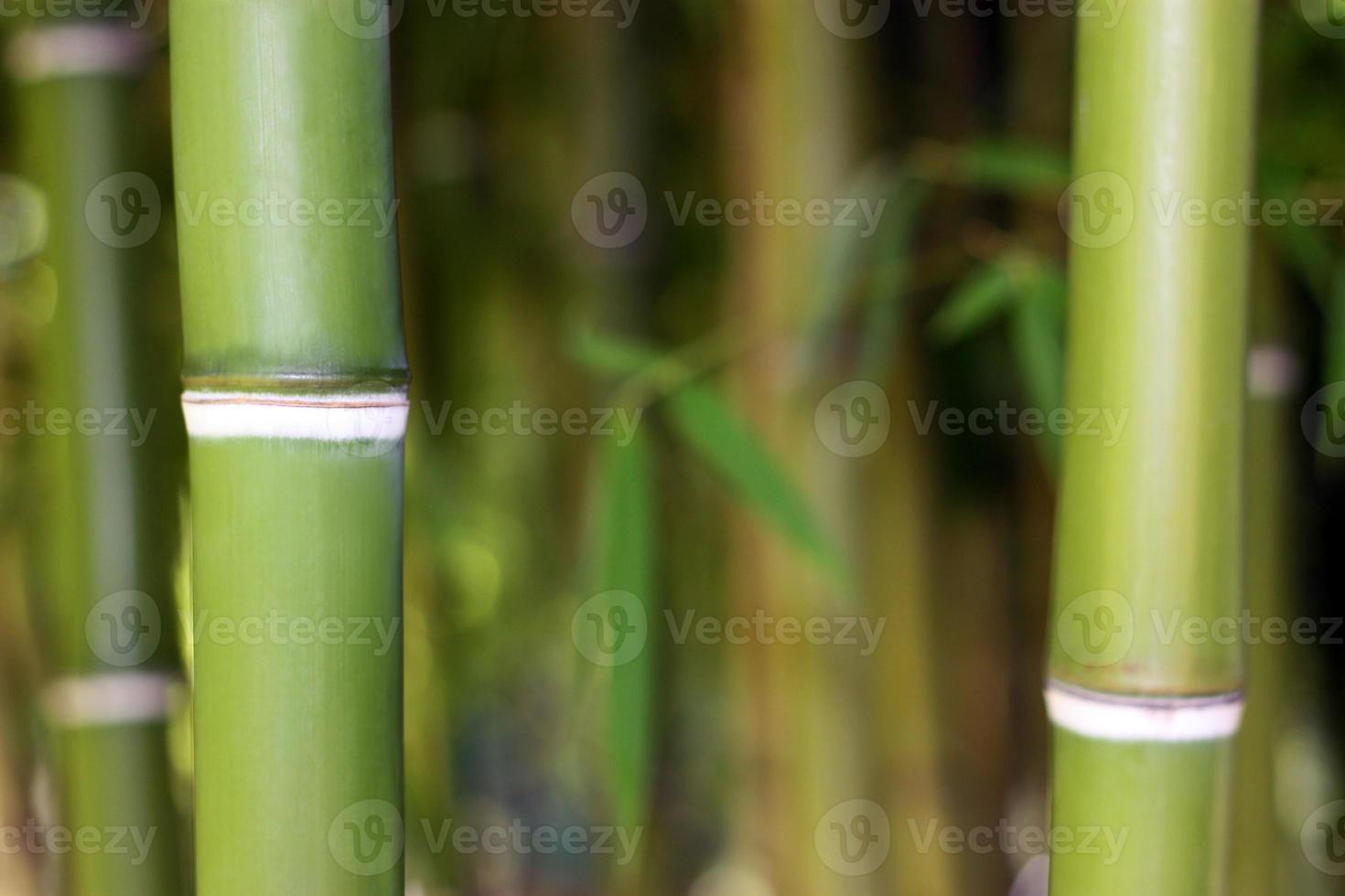 fond de bambou vert jeune photo