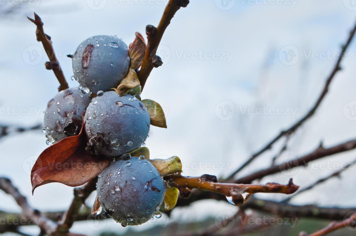 datte-prune, kaki caucasien ou kaki lilas photo