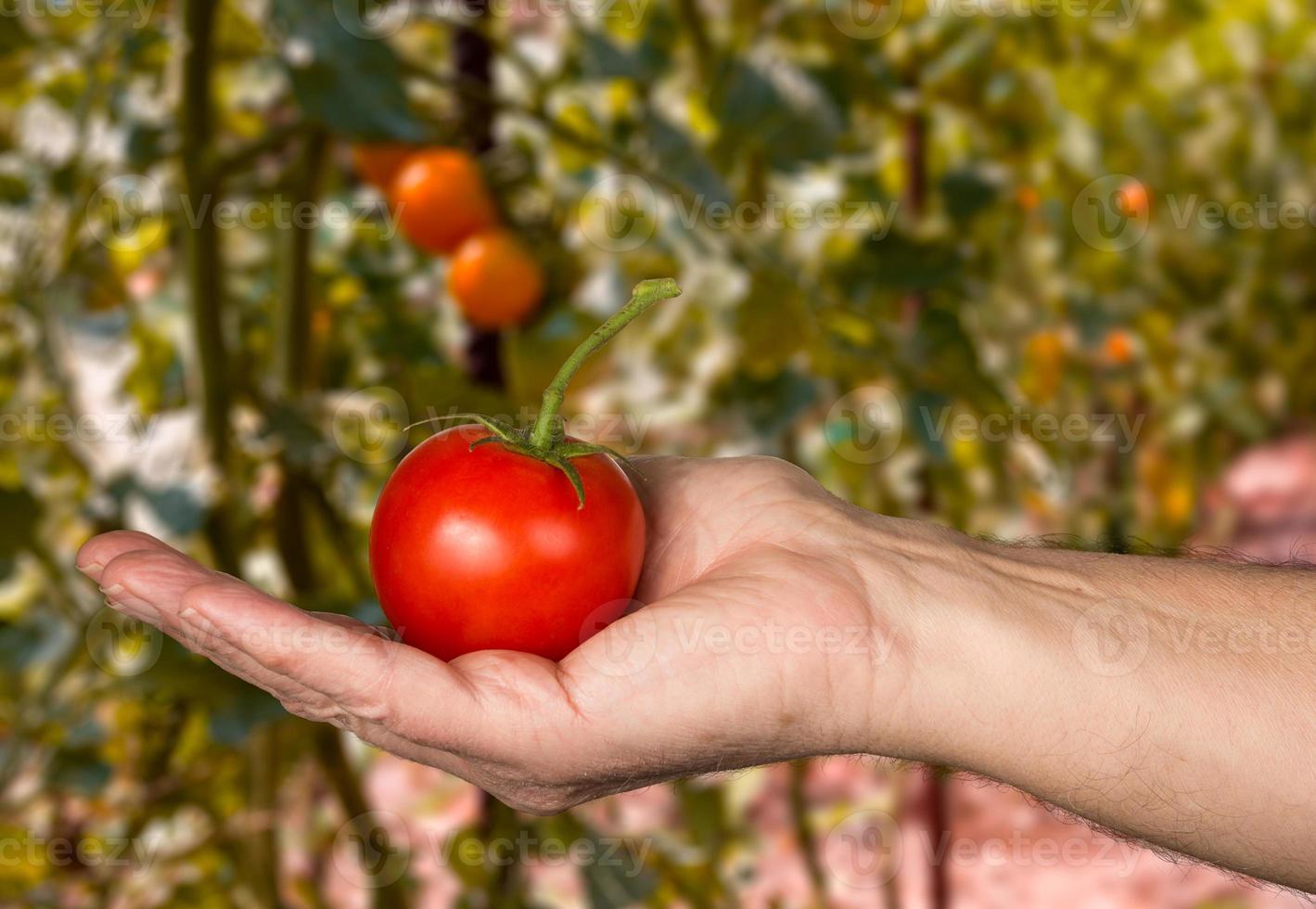 Mans caucasien main tenant une grosse tomate biologique photo