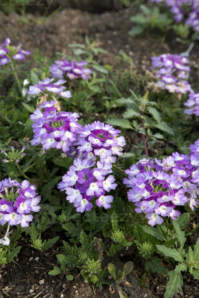 verveine - twister violet imp. photo