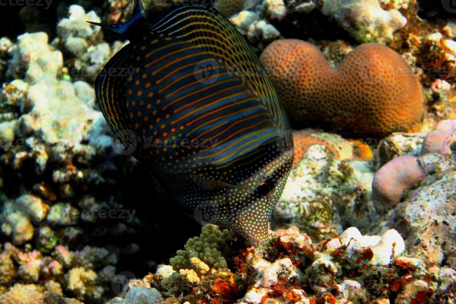 poisson-globe indien photo