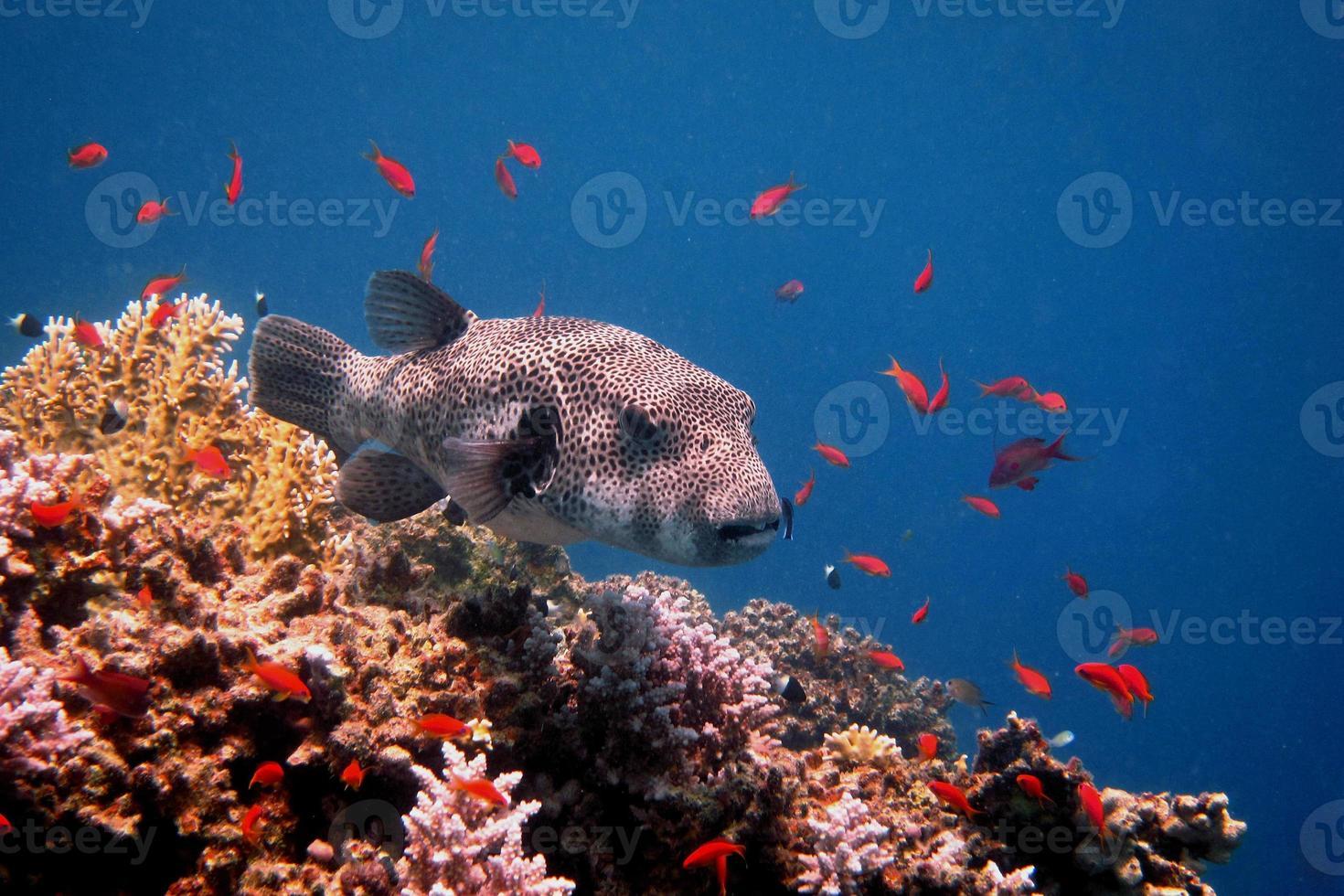 Blowfish géant flottant photo