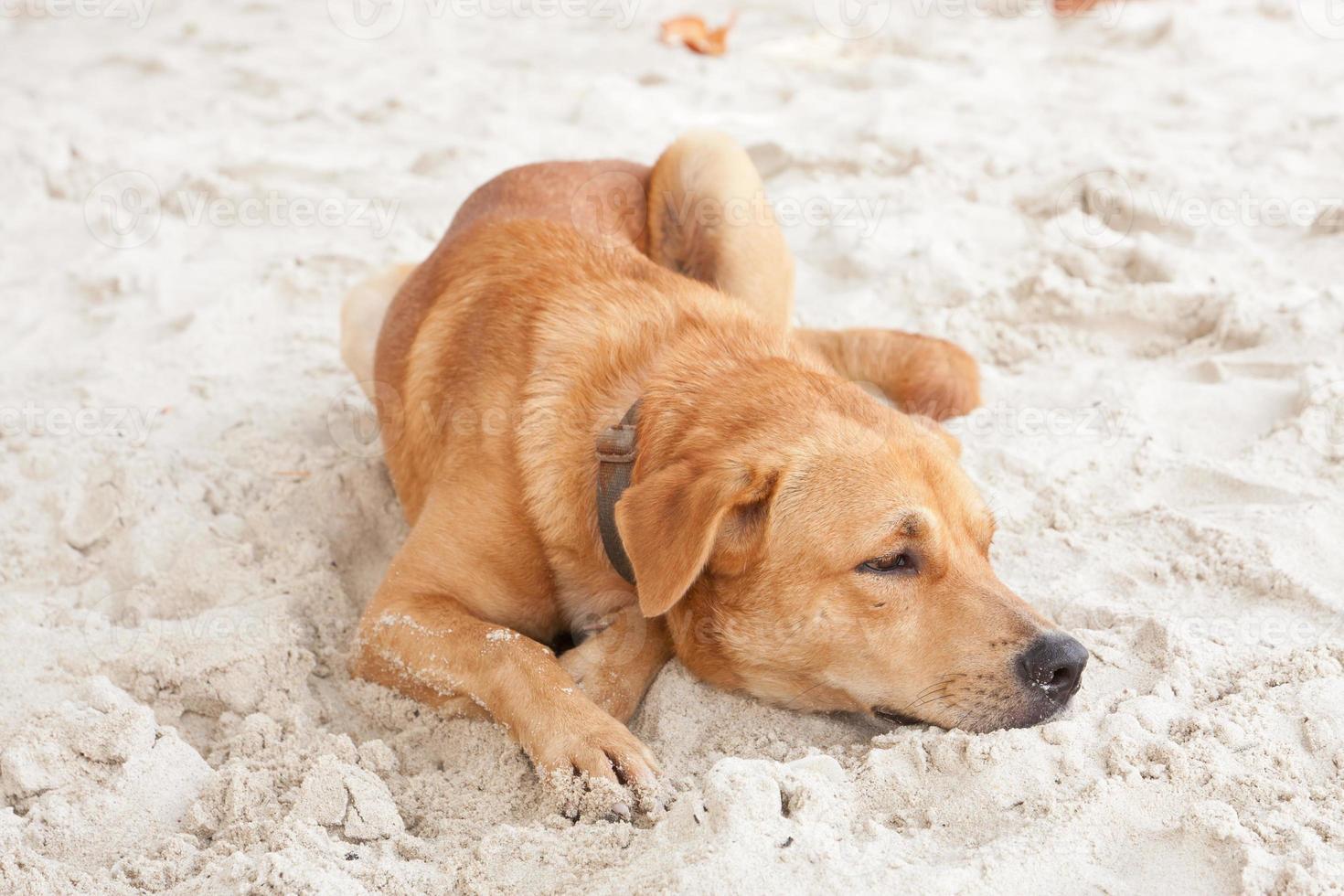 chien, délassant, plage, sable, thaïlande photo