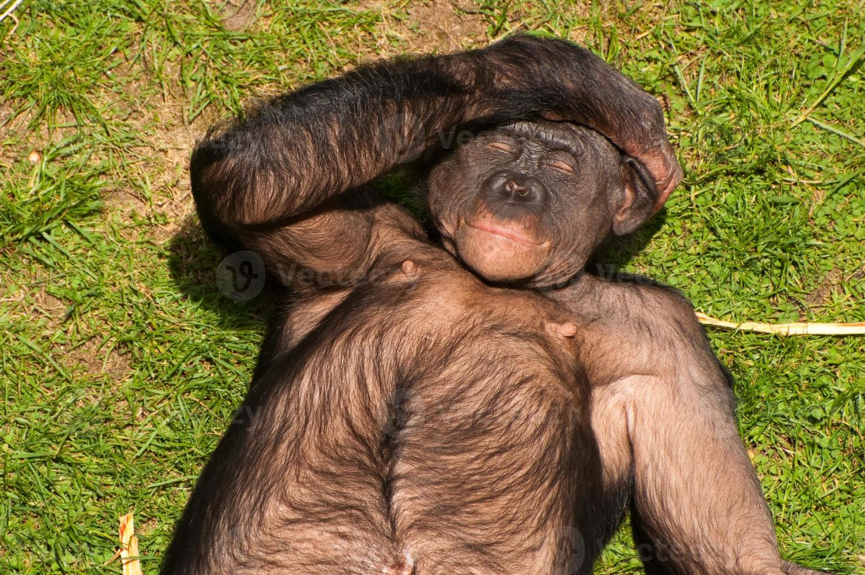 singe bonobo au soleil photo