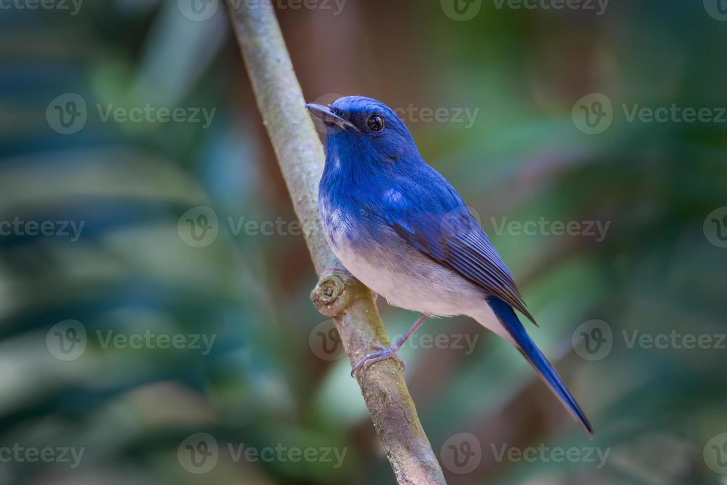 portrait, de, hainan, moucherolle bleu, (cyornis, hainanus) photo