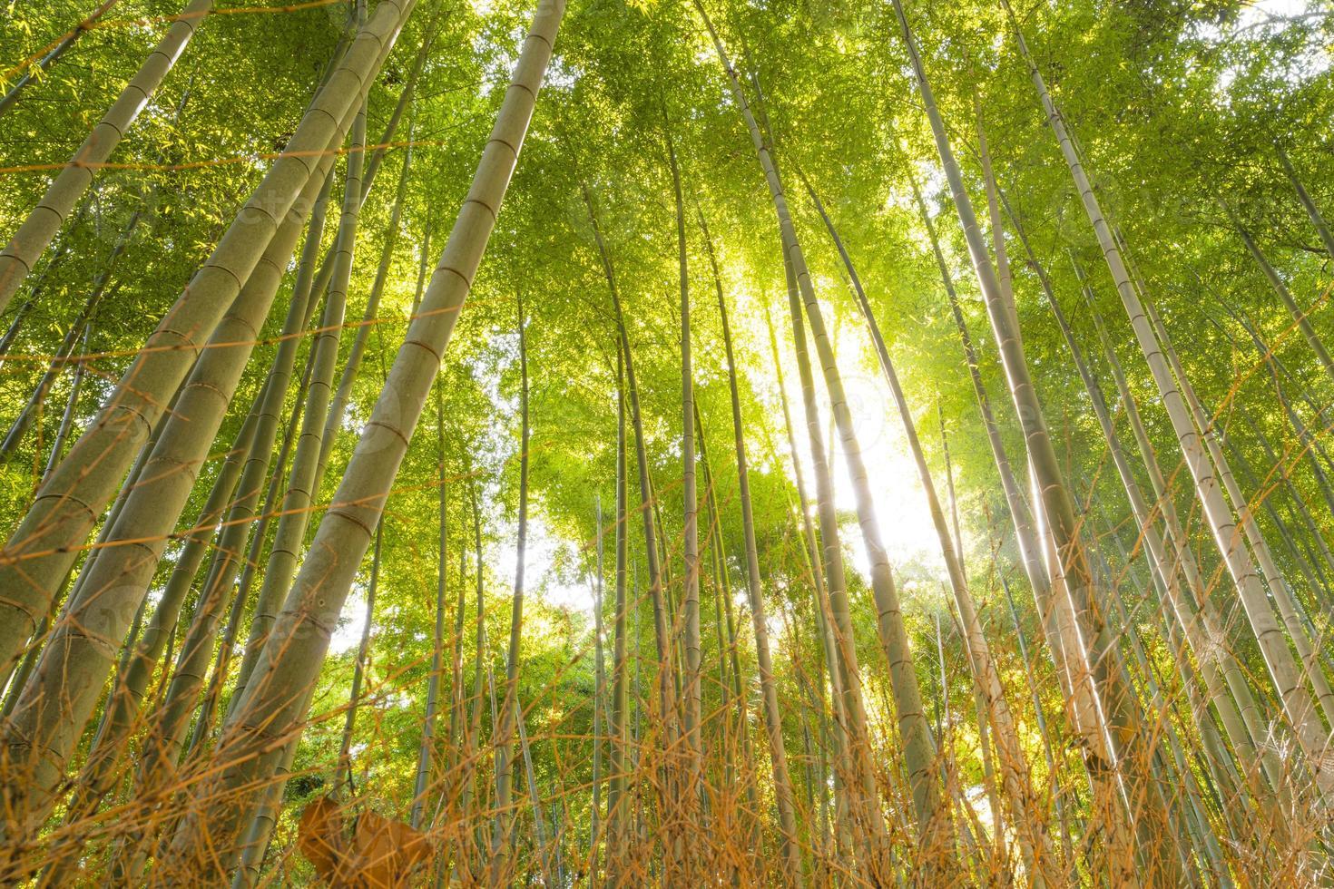 forêt de bambous, kyoto, japon photo