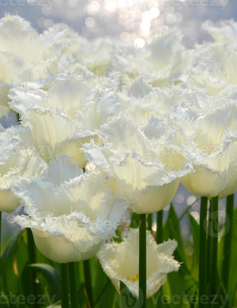 tulipes blanches photo
