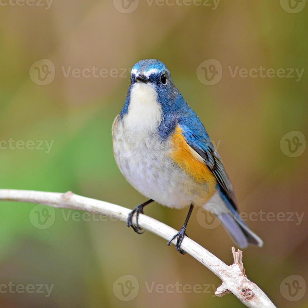 Oiseau bleu à flancs rouges photo