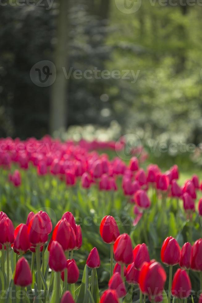tulipes rouges photo