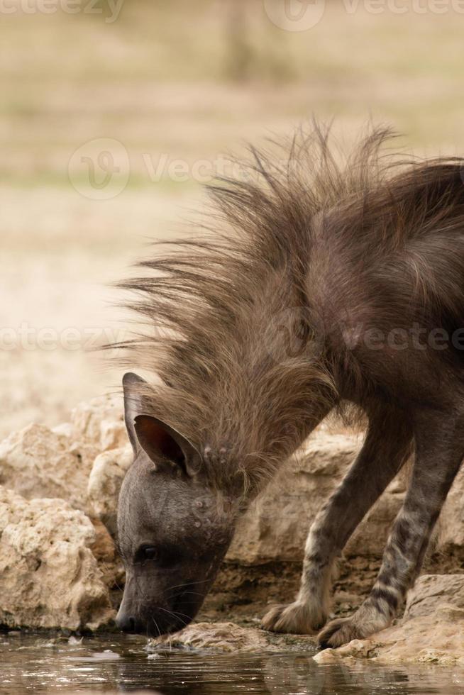hyène brune buvant photo