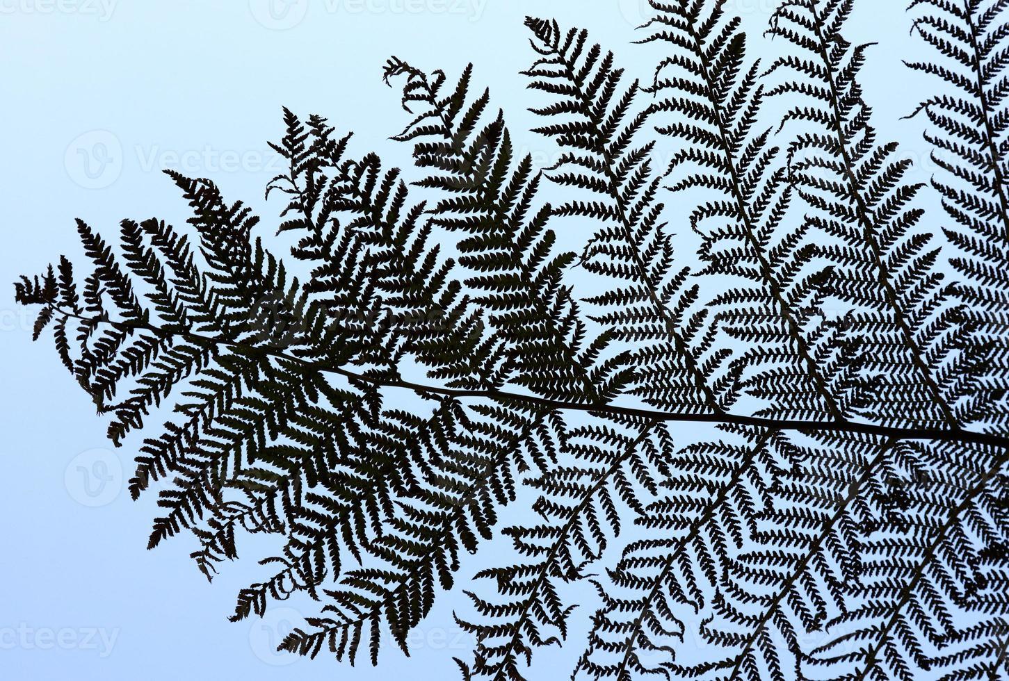 branches de fougère argentée photo