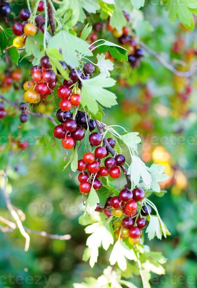le jostaberry (lat. ribes x nidigrolaria) est un arbuste à fruits croisés photo