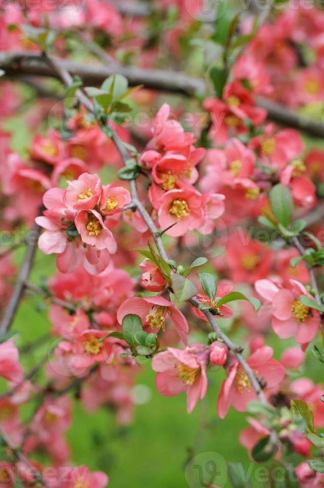 branche de coing japonais - floraison photo
