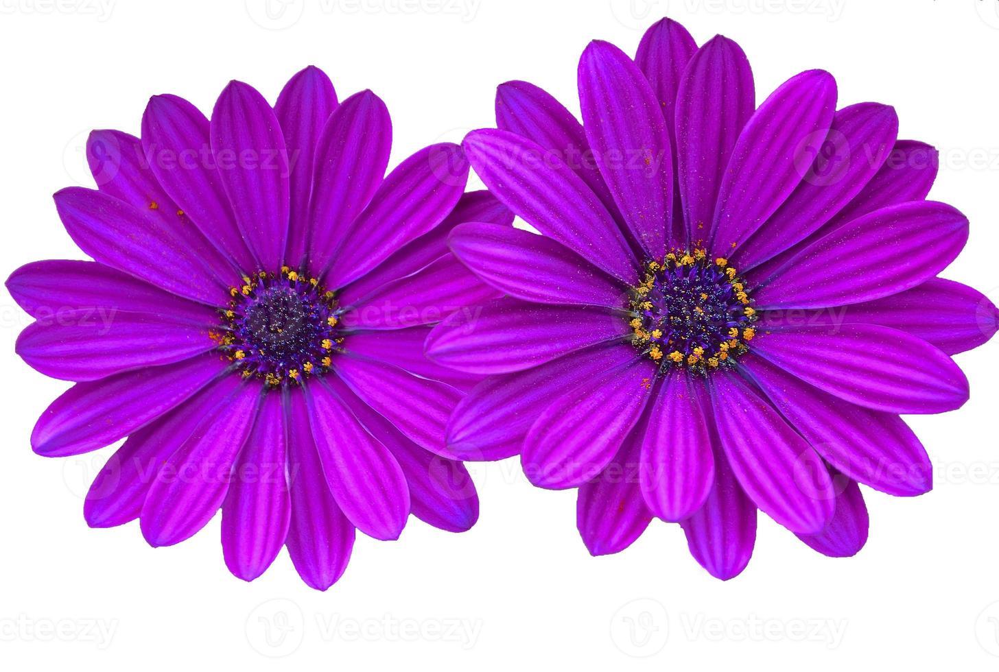 marguerites violettes avec espace copie photo
