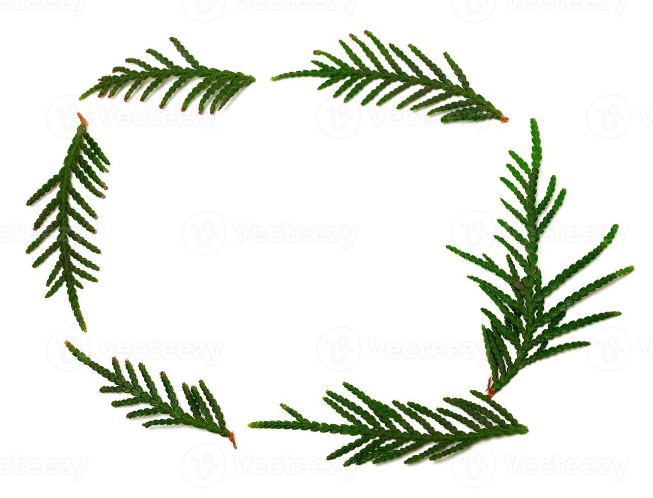 branches de thuya sur blanc avec espace de copie photo