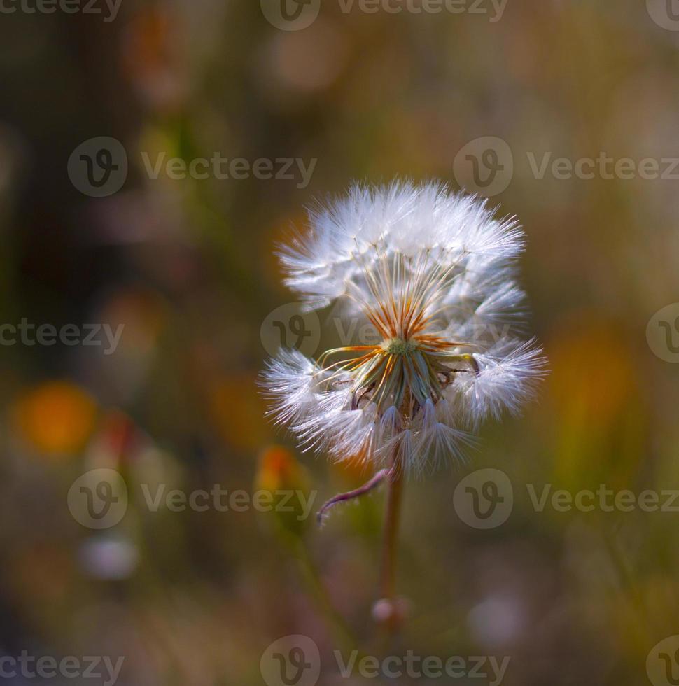fleur de pissenlit. fermer photo