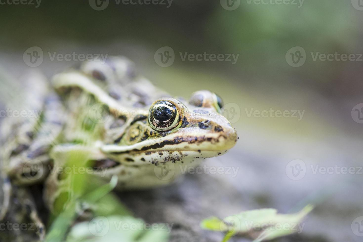 gros plan grenouille léopard photo