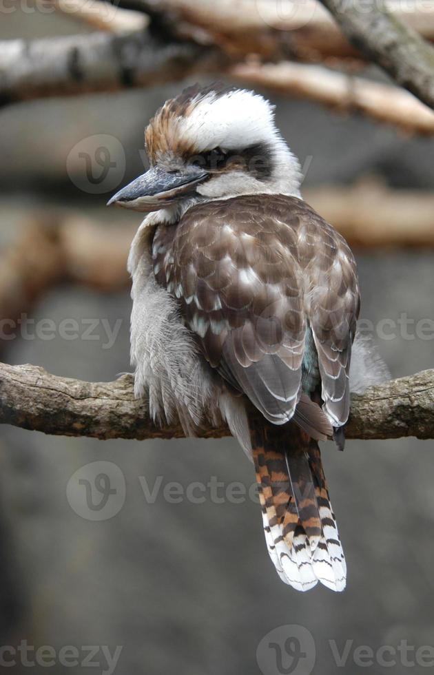 kookaburra photo