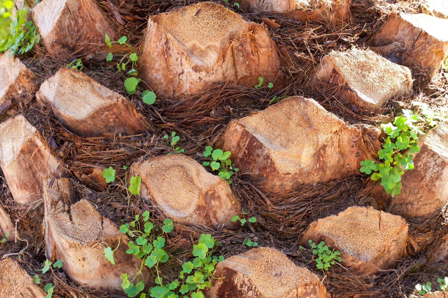 palmier se bouchent. photo